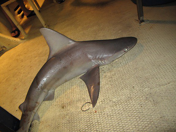 shark2 Four Shark Attacks in Hawaii in One Month?